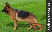 Imported German Shepherd female