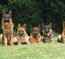 Our German Shepherds