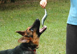 Raw dog food - German Shepherd eating raw sardine