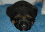 White collar female - VA3 Erasmus van Noort daughter - 6 days old.