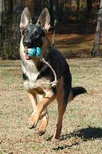 German Shepherd puppy retreaving  her kong on a string