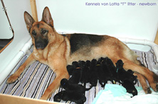 German Shepherd puppies: F-litter von Lotta newborn