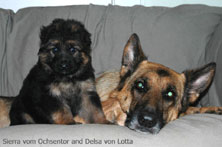 German Shepherd dog and German Shepherd puppy