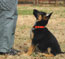 Training Caelin (orange collar female) at 9 weeks old