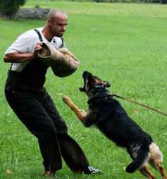 GSD at Schutzhund training