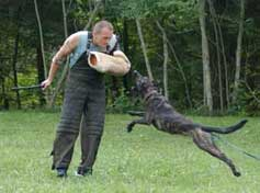 Armin trains a Dutch Shepherd