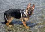German Shepherd puppy Fantastica