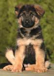 German Shepherd puppy Yukon