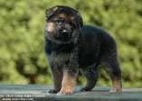 German Shepherd puppy Igor