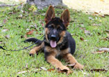 German Shepherd puppy Wiedo
